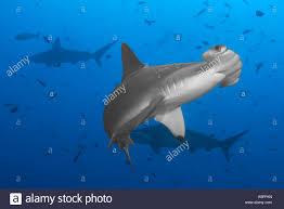 hammerhead shark bite. Modren Bite Hammerhead Shark With Bite Marks On Its Side At The Arch Darwin Island  Galapagos  Stock On Bite