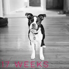 Boston Terrier Growth Chart Bostonterrier Puppy Boston