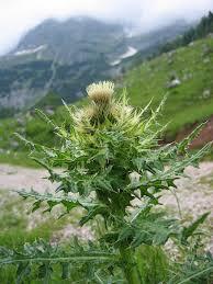Cirsium spinosissimum - Wikipedia