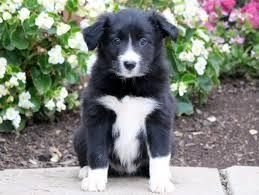 border collie puppies puppy