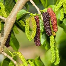 How To Grow Mulberry Trees  Life Is Just DuckyMulberry Tree No Fruit
