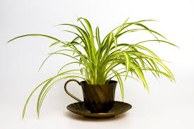 in the tournament of easy growing indoor plants the spider plant is the reigning champion this adaptable green guy loves cooler indoor climates and