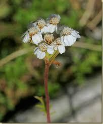 Flora - Millefoglio del calcare - in Valgrande