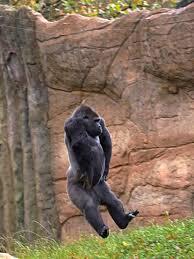 kidogo the german gorilla somersaults