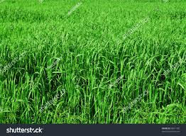 Tall Grass Texture Stock Photo Image Royalty Free 56611798