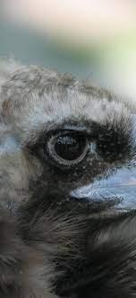 Eagle, beak, eye 828x1792 iPhone 11/XR ...