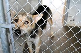animal shelters sad. Plain Sad Web Image Kennel Dog1 Throughout Animal Shelters Sad F