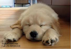 cute golden retriever puppies for sale.  For Golden Retriever India Inside Cute Golden Retriever Puppies For Sale