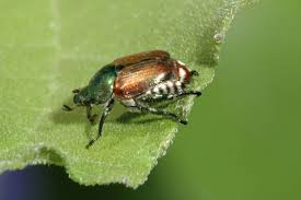 japanese beetles life cycle japanese beetles in yards and gardens umn extension