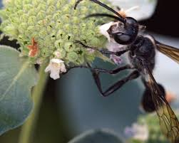 Great Black Wasp On Flower - Aubrey Moat - Photography, Animals, Birds, &  Fish, Bugs & Insects, Bee & Wasp - ArtPal