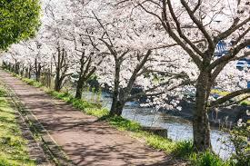 「桜 画像」の画像検索結果