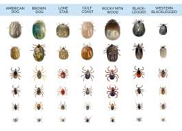 Bug Id Chart What Do Ticks Look Like Tick Identification Guide