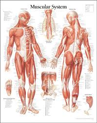 Abdominal Muscle Anatomy Diagram Human Anatomy Female