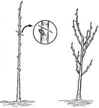 Have You Pruned Your Fruit TreesPrune Fruit Tree