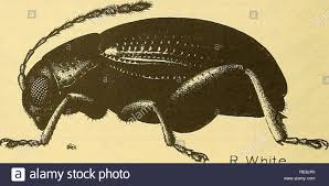 Corn Flea Beetle Cooperative Economic Insect Report Beneficial Insects
