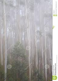Nevelig En Mistig Dik Bos Van Eucalyptusbomen Achtergrondbehang