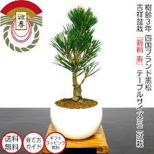 bonsai new year s auious high beauty black hue plants bonsai pine black pine bonsai