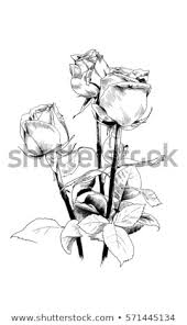 Bouquet Roses Drawn Ink By Hand Stock Illustration 571445134