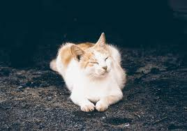 fluffy white and orange cats. Unique Cats Shortcoated White And Orange Cat Laying On Ground With Fluffy White And Orange Cats I