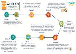 Detailed Pregnancy Belly Growth Chart Week Belly Growth Week