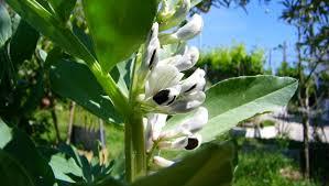 Resultado de imagen para imagenes de plantas de habas