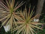 dracenaceae