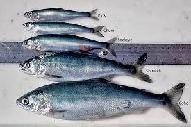 Salmon Research In Alaska Noaa Fisheries