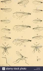 Dipterologia Argentina. Diptera. (I)ipterolüí¡-la, -firQ-enüna -  MYOT^.^O(FHÍLIQ:ffB LAM.