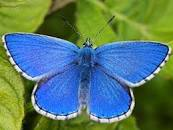 Image result for adonis blue butterfly for kids