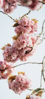 pink flowers in tilt shift lens iPhone ...