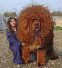 Тибетский мастиф. Самая дорогая <b>собака</b> на земле ! | Породы ...