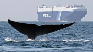 Whale Chart Species Blue Whale Numbers Off The Us West Coast Are Back Where They