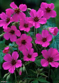 Картинки по запросу gilliflower | Hardy geranium, Geranium patricia,  Geraniums