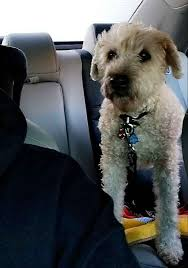 easton pa soft coated wheaten terrier