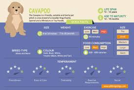 Cavalier Weight Chart Correct Cavalier King Charles Spaniel Size Chart Cavalier