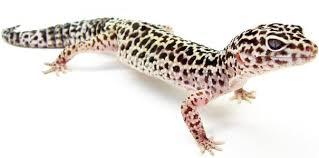 Leopard Gecko Age Chart Leopard Gecko Care Sheet Diet Habitat Substrates More