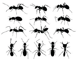 black ants in kitchen ants in kitchen sink also large size of kitchen ant spray for the kitchen