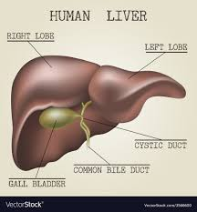 Liver Anatomy The Human Liver Anatomy