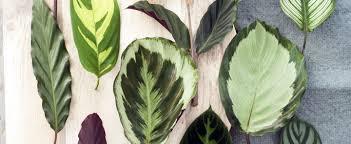 Conheça as plantas que conquistaram os millennials (foto: Marantas E Calatheas Conheca As Plantas Que Conquistaram Os Millennials Casa Vogue Paisagismo