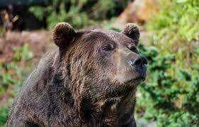Dakota Grizzly Size Chart Grizzly Bear