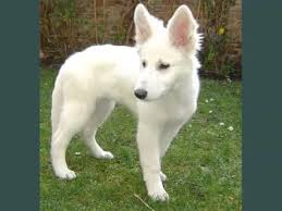 white german shepherd puppies for sale. Set Of Useful Picture Ideas White German Shepherd Puppies And For Sale