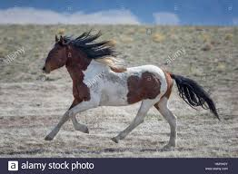 wild horses galloping.  Wild Stock Brown And White Paint Horse Galloping Equus Ferus Caballus Wild  Of Intended Horses