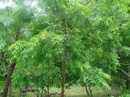 importance of sacred plants and trees kannadiga world neem tree