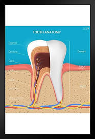Amazon Structure Chart Amazon Com Human Tooth Structure Cross Section Anatomy
