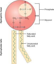 lipid types and structures nutrition