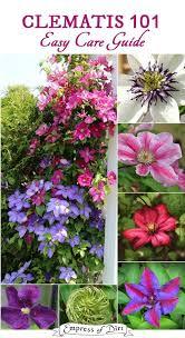 clematis 101 easy care guide succulents gardengarden plantsflower