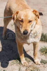 Small Picture Labrador Mongrel Stock Photos Royalty Free Labrador Mongrel