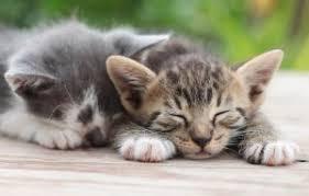 курсовая по оперативной хирургии кастрация кота Кот и Кошка перелома нога у кота