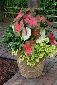 The striking shade-loving caladiums are the thrillers, the tallest plants  in the pot