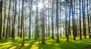 bramble trees